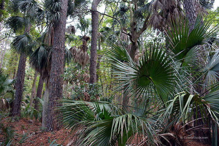 Palm forest at Hunting island State Park
